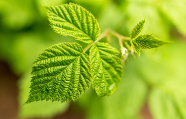Beautiful green leaves on raspberries in nature