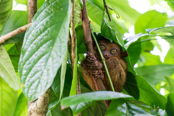 Endangered Tarsier in Bohol, Philippines