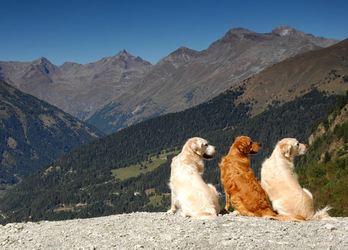 3 Golden Retrievers on the Mountains in perfect synchronicity