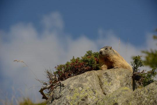 Groundhog on a rock