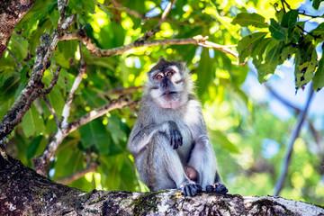 Singe dans la foret tropical - monkey in indian ocean