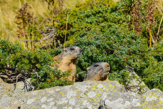 2 Groundhogs on a rock