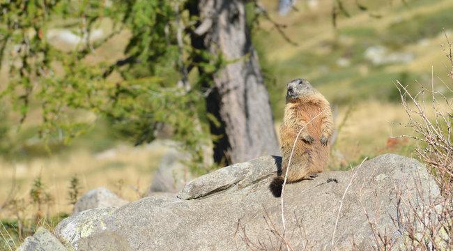 Groundhog upright on a Rock
