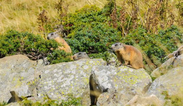 3 Groundhogs on a Rock