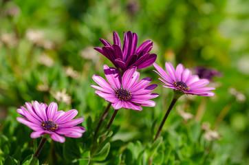 Purple Osteospermum ecklonis flowers macro in the park.