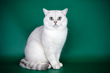 Scottish straight shorthair cat on colored backgrounds