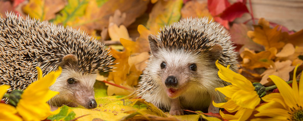 Four-toed Hedgehog (African pygmy hedgehog) - Atelerix albiventris funny autumnal picture Wall mural