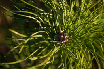 Pine branch in the forest