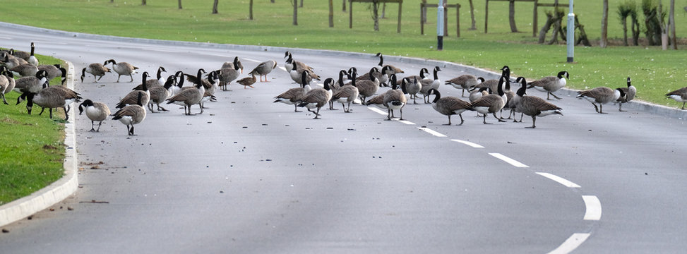 Wild geese on pond,  road and flying.