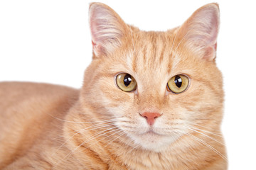 Close up portrait of tabby ginger cat.