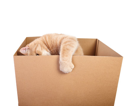 Red young cat playing with cardboard box.
