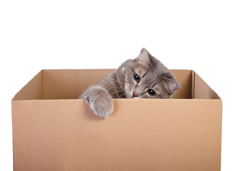 A cute gray cat in cardboard box isolated on white background.
