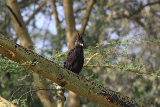 Long Crested Eagle, Kenya