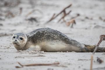 Seal at the beach (Phoca vitulina)