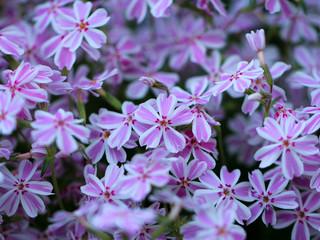 Art photo Pelargonium geranium group bright cerise pink flowers.Selective focus.
