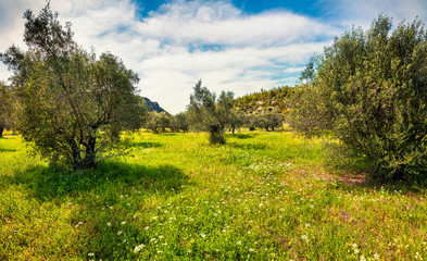 Sunny spring scene in olive garden on the Zakinthos island. Colorful morning scene in Greece, Europe. Beauty of countryside concept background. Artistic style post processed photo.
