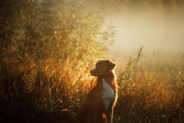 portrait of a dog in the Park in the morning at dawn. Pet on the walk. Nova Scotia duck tolling Retriever, Toller.
