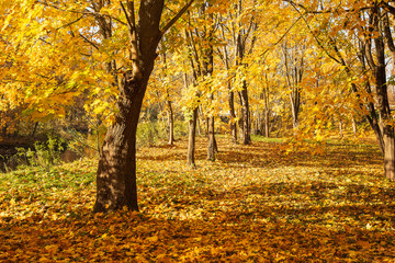Autumn Park with maple trees