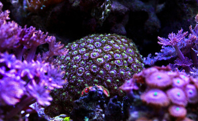 Colorful zoanthus polyp aquacultured in reef aquarium