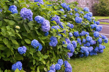 Garden with hydrangeas