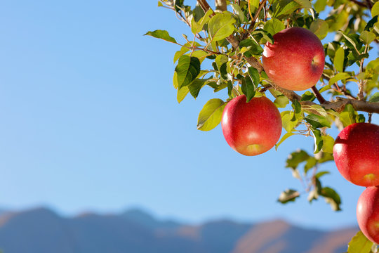 Apples of the Fuji variety in the apple orchard against the blue sky and mountains.