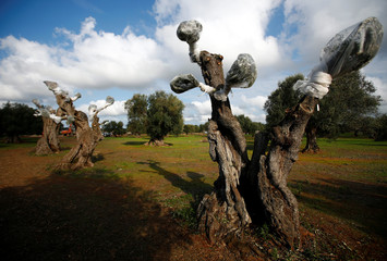Olive trees are seen at a construction side of a pipeline in a grove of century-old olive trees in the southern Italian village of Melendugno, near Lecce