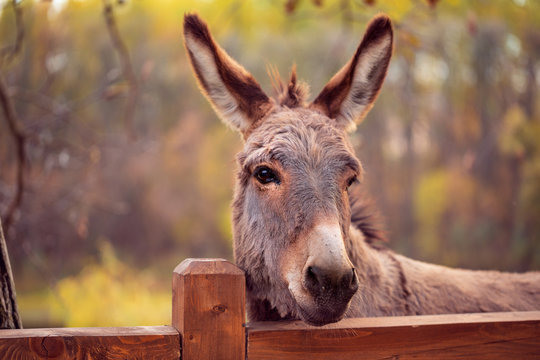 funny donkey domesticated member of the horse family.