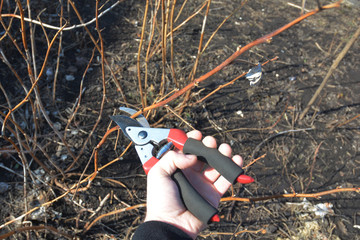 Gardener hands cutting red raspberry plant bush with bypass secateurs. Pruning red raspberry plant bush