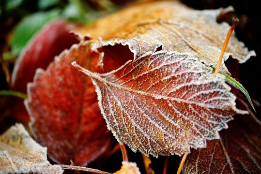 Frozen autumn natural close up colorfull red, green, yellow leaves.