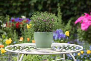 Beautiful pink flower blooms in a green pot on a table in a flowering colorful garden. Open day is in English garden & gardening club.
