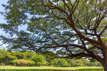 Big tree in the public park