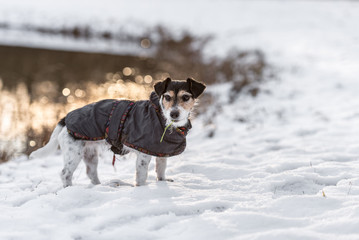 Proud small dog is standing in a white meadow in the snow in winter in the evening light- Cute Jack Russell Terrier hound 8 years old is wearing a dog coat
