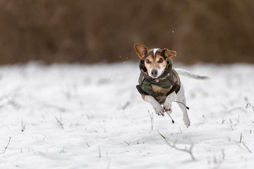 small dog runs over a meadow in the snow in winter and wears a warm coat - Cute Jack Russell Terrier hound, 11 years old, hair type smoot