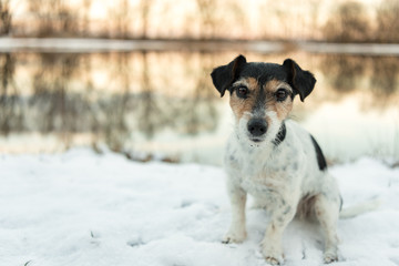Proud small dog is sitting in a white meadow in the snow in winter in the evening light- Cute Jack Russell Terrier hound, 8 years old, hair type broken