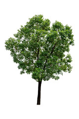 Beautiful green trees isolated on white background with a high resolution suitable for graphic. with clipping path