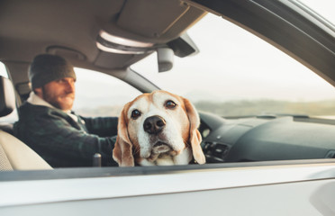 Funny beagle dog traveling with his owner looks out from car