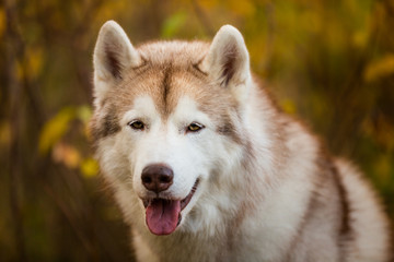Close-up Portrait of free and beautiful Beige Siberian Husky on a forest background in golden autumn season