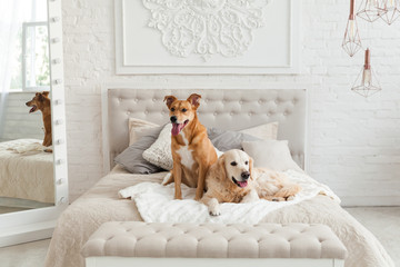 Golden retriever and mixed breed ginger dogs in luxurious bright colors classic eclectic style bedroom with king-size bed, bedside table and mirror. Pets friendly  hotel or home room.