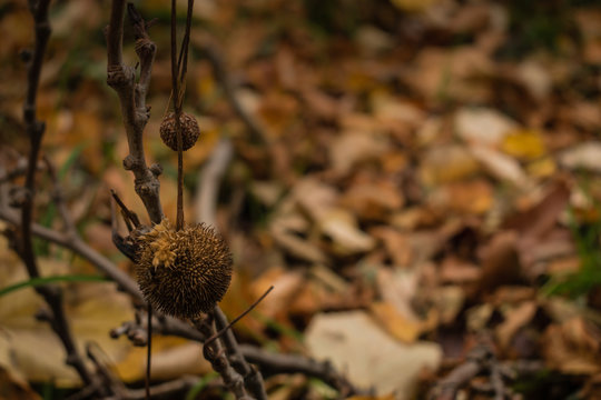 Plane tree and its ball shape seed in the woods