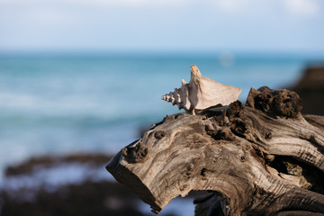 Seashell on driftwood on the beach