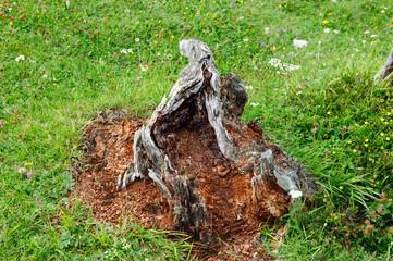 Vermodernder Baumstumpf