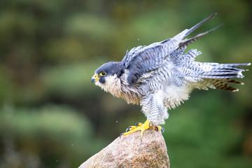 Fotomurales - Peregrine Hawk
