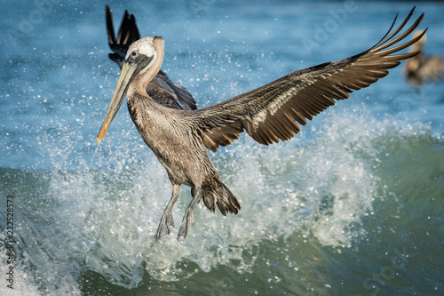 Brown Pelican jumping the waves on Clearwater beach, Florida