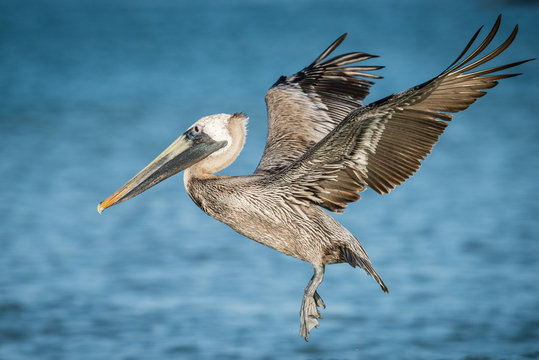 Brown Pelican at Clearwater Beach, Florida