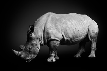 White rhinoceros (square-lipped rhinoceros) inhabiting  South Africa on monochrome black background, black and white, rhino in wildlife