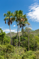 Palm trees on green cerrado vegetation in Chapada dos Veadeiros, Goias, Brazil