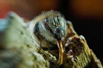 Nahansicht  einer Biene
