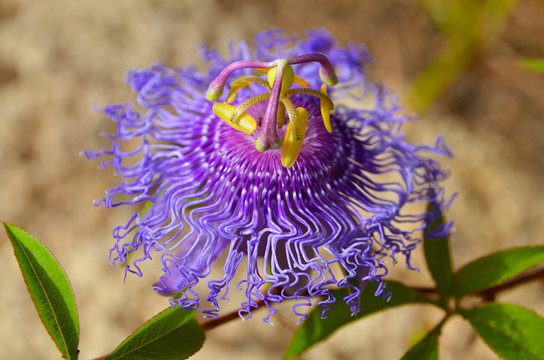 Passiflora incarnata commonly known as Maypop,Purple passionflower,Wild apricot is a fast-growing perennial vine with climbing stems.Selective focus.