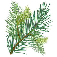 Green lush pine branch with long needles of different shades. Vector illustration isolated on white background in EPS 10.