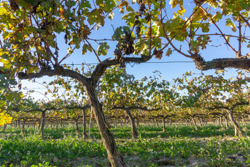 Wine grapes in cava district Sant Sadurní d'Anoia outside of Barcelona, Spain during spring.